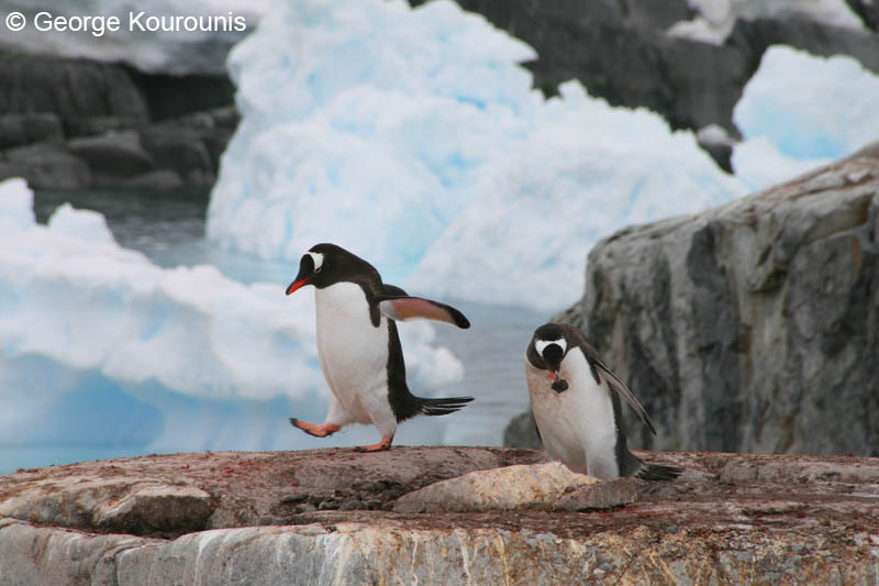Mated pair of gentoo penguins the male is off to gather more stones