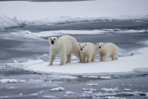 Arctic - Polar Bears