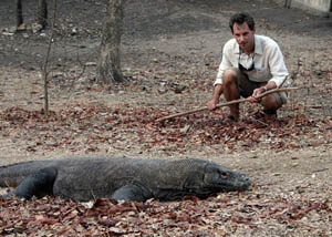 Up Close with Komodo Dragons in the Wild