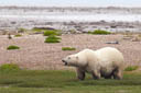 On The Ground With Polar Bears - Hudson Bay, Manitoba